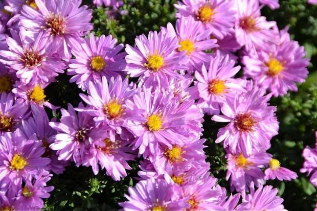 Astry jesienne - byliny schyłku lata
