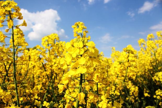 Symetra 325 SC - nowy fungicyd w ochronie rzepaku