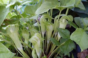 Sadzimy wiosenne rośliny cebulowe i bulwiaste