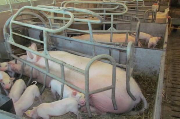 Choroba Aujeszkyego u świń
