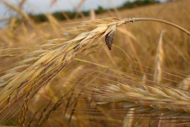 7 grzechów głównych w uprawie żyta ozimego