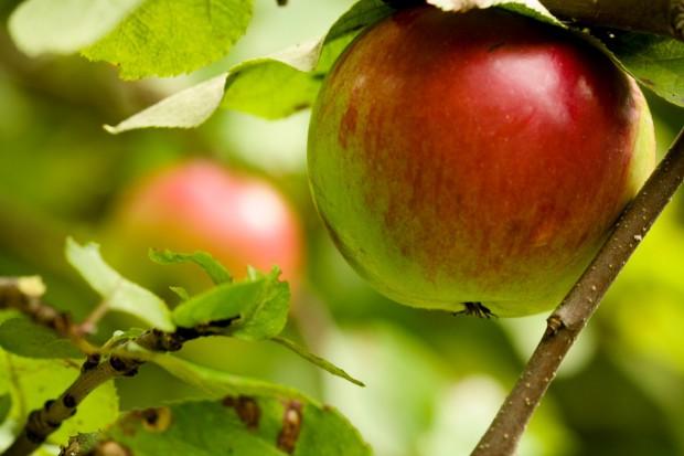 Zwalczamy choroby kory drzew owocowych