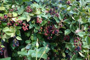 Rozmnażanie krzewów jagodowych