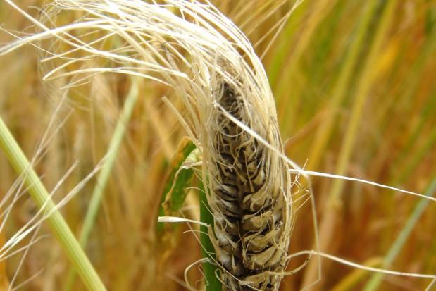 Zaprawianie ziarna zbóż