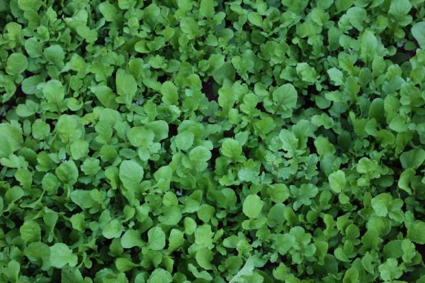 Posezonowa uprawa warzyw liściowych
