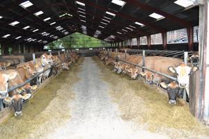 Dania liderem w hodowli krów Jersey