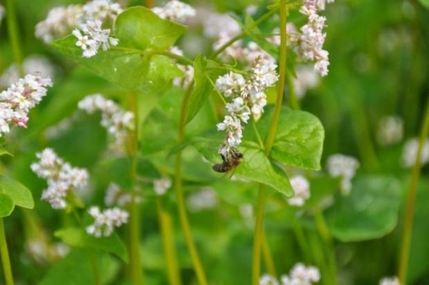 Wsparcie unijne pszczelarzy bez podstaw prawnych?