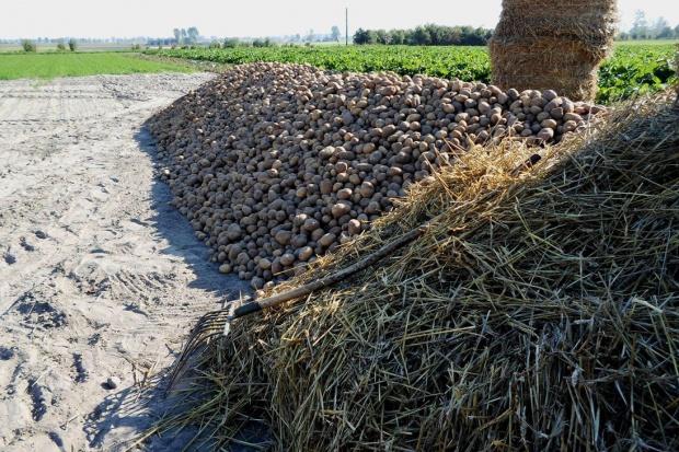 Na polach pojawiają się kopce ziemniaczane