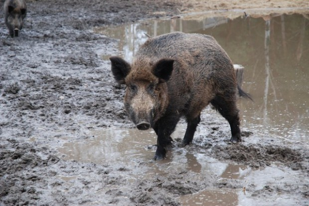 Komisje szacują szkody w uprawach spowodowane przez dziki