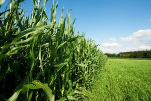 Zapowiadają się rekordowe zbiory kukurydzy