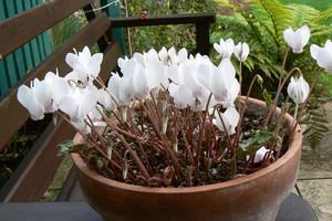 Cyklamen ogrodowy – ozdoba cienistego zakątka