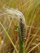 Zaprawianie ziarna zbóż 2