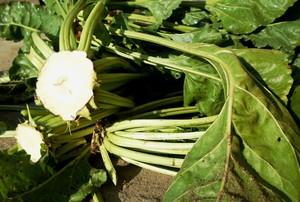 Wartość nawozowa liści buraczanych