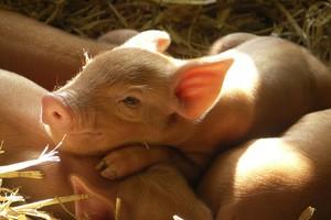 Probiotyk i zakwaszacz – duet niezbędny w paszach dla prosiąt