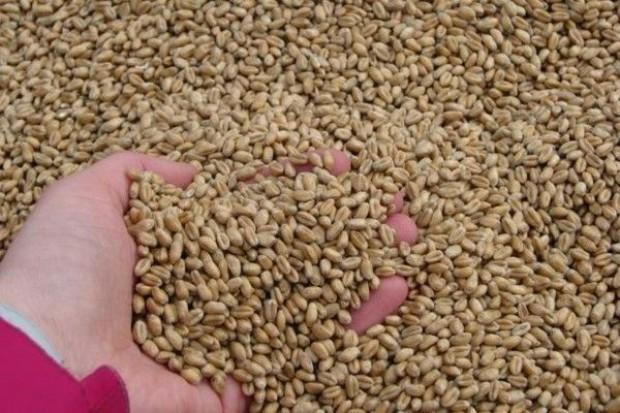 Plonowanie odmian pszenicy ozimej