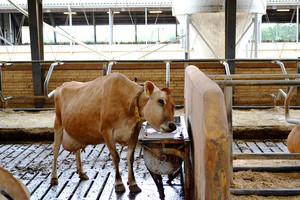 Czego unikać w żywieniu krów mlecznych?