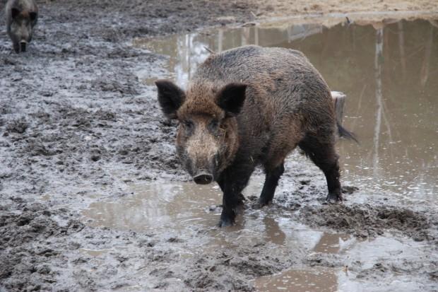 Izby Rolnicze chcą aby Ministerstwo Środowiska wzięło odpowiedzialność za dziki