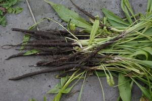 Skorzonera - niedoceniane warzywo