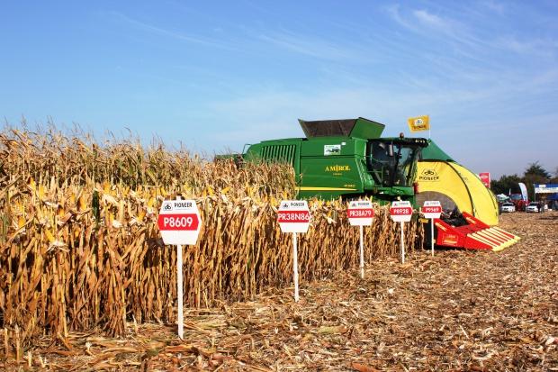 Plon ziarna kukurydzy z poletek demonstracyjnych firmy Pioneer