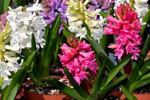 Pędzenie kwiatów cebulowych