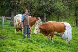 Krowy pasące się w pieluchach