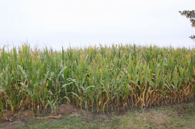 Duża grupa padłych dzików - na polu kukurydzy