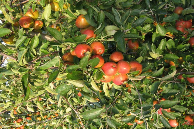 Ok. 43,2 mln zł na pomoc producentom jabłek. Na Węgrzech