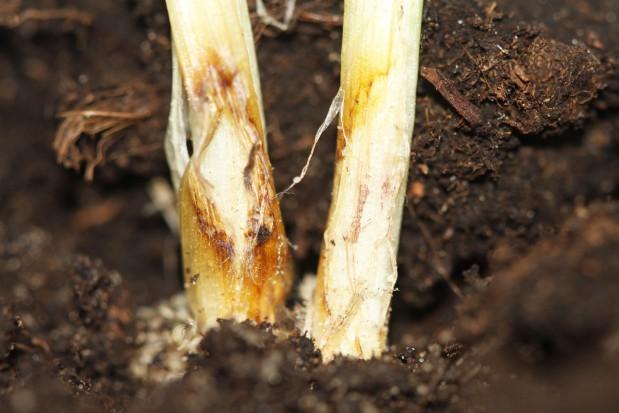 Odporność sprawców łamliwości źdźbła zbóż na substancje czynne fungicydów