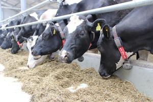 Przeżuwanie - pomiar i znaczenie dla dobrostanu krów mlecznych