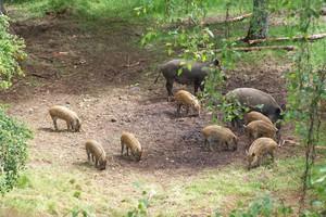 Działania wojewody podlaskiego ws. odszkodowań dla rolników i większego odstrzału dzików