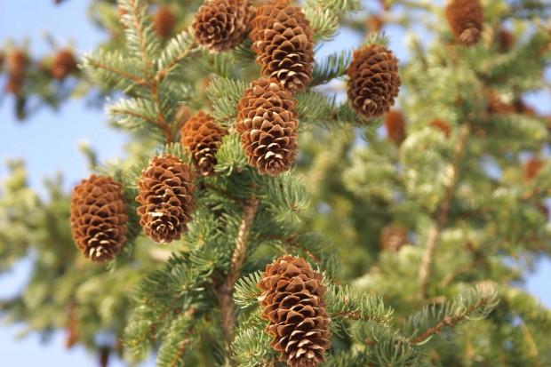 Rozmnażanie iglaków cz.1:  Nasiona