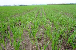 Miedź, mangan oraz cynk zapewnią lepszą zimotrwałość zbóż