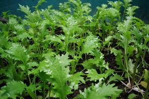 Mizuna – liściaste warzywo orientalne