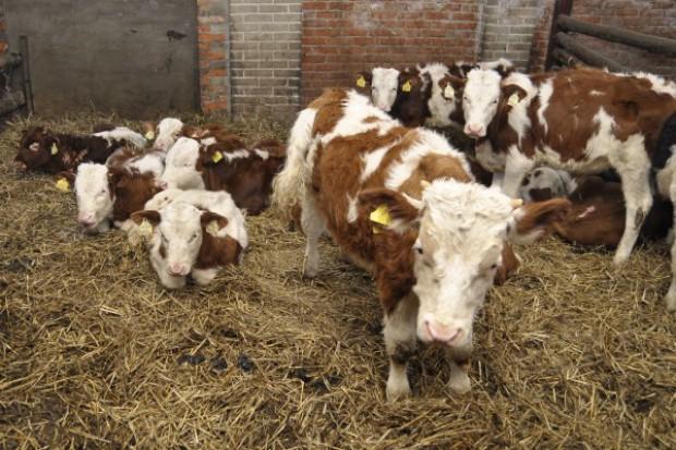 TK zbada konstytucyjność zakazu uboju rytualnego zwierząt