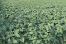 Duży eksport ciągnie cenę soi w górę