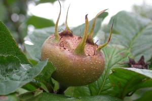 Nieszpułka – pradawne drzewo owocowe