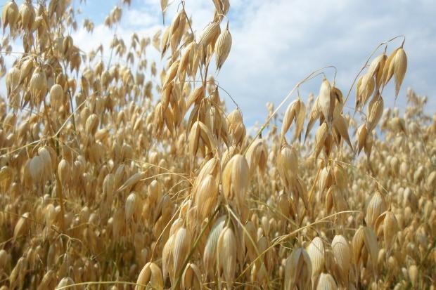 Plonowanie zbóż w uprawie ekologicznej