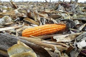 Pozbieraj kolby kukurydzy