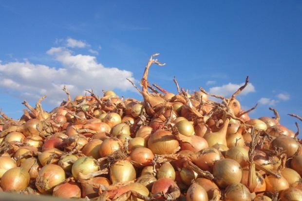 Formularze wniosków o przyznanie pomocy dla producentów cebuli, kapusty oraz jabłek są już dostępne