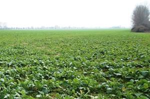 Przed zimą warto ocenić stan plantacji rzepaku