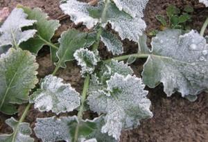 Rzepak jest rośliną wymagającą długiego okresu hartowania