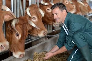 Jakie płatności za bydło i krowy?