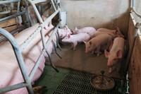 Nowoczesna hodowla zarodowa świń