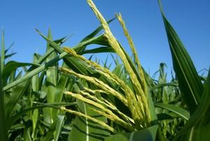 Kolejny fungicyd do ochrony kukurydzy