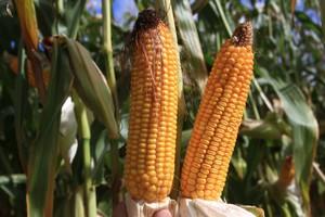 W USA słabnie zainteresowanie GMO?