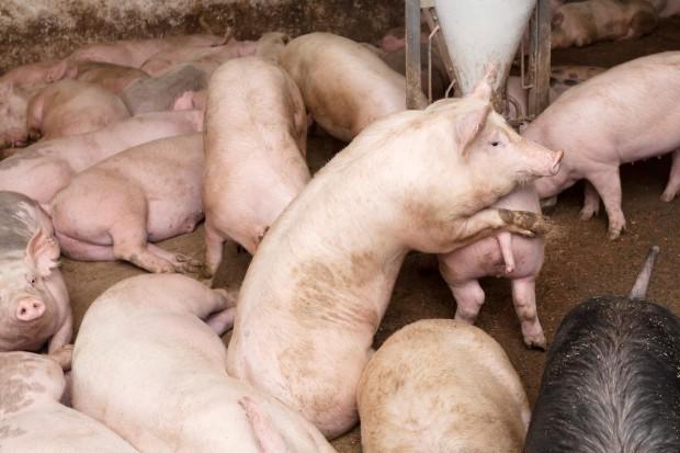Chiny: 51 proc. światowego pogłowia świń