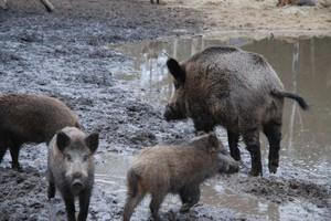 Działania rekompensujące szkody wyrządzone przez dziki, nadal są niewystarczające