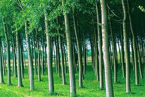 Zagajnik topoli na obszarach proekologicznych - tanie i wydajne drewno opałowe