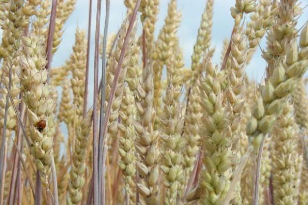 Cena pszenicy nawet po 760 zł/t