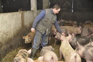 Ceny świń są dramatycznie niskie, ale to jeszcze nie koniec spadków